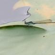 アオモンイトトンボ♂ ↓下にも写真あります