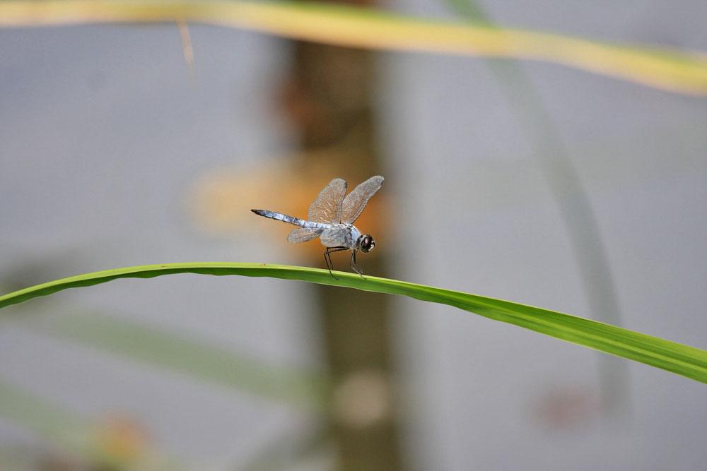 コフキトンボ 201107