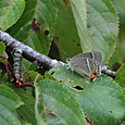 ハヤシミドリシジミ ♀