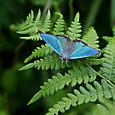 ハヤシミドリシジミ♂  w800