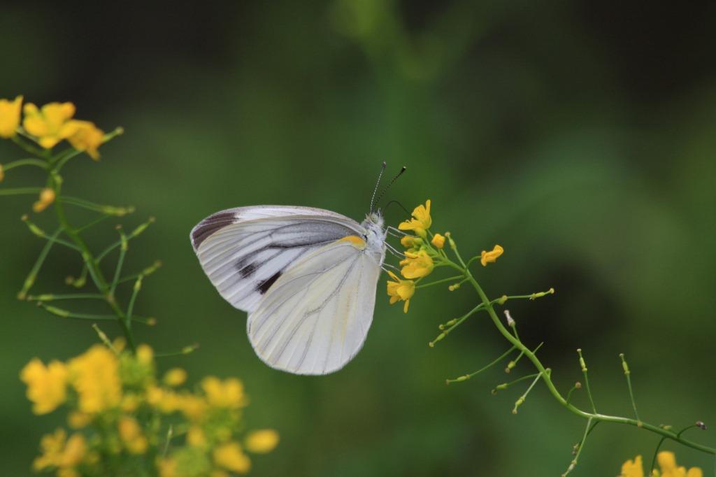 スジグロシロチョウ イヌガラシの黄色い花に