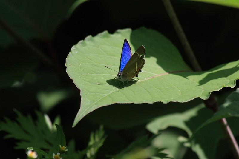 ミドリシジミ 2008.06.15