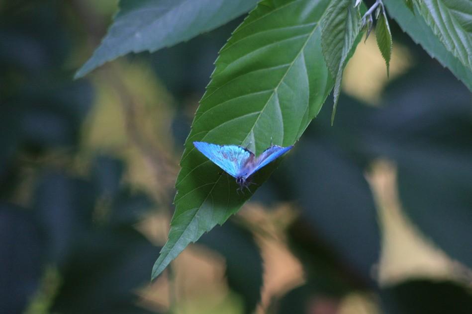 オオミドリシジミ 下にも写真あります。