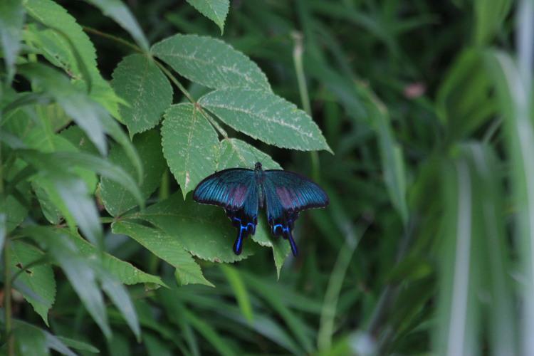 カラスアゲハ 開翅 2008.08.07 w750
