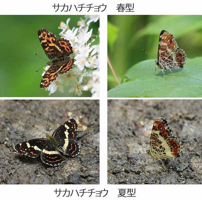 サカハチチョウ 比較