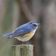 ルリビタキ②(ツグミ科)♂  青い鳥