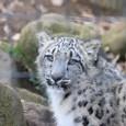 20091228_snowleopard_6
