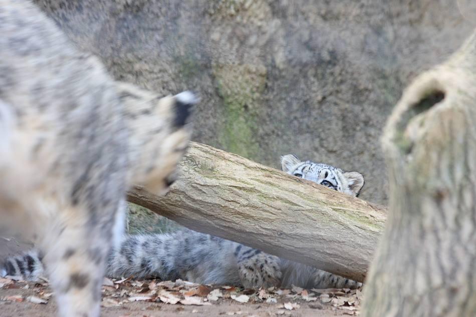 20091228_snowleopard_4