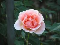 Jindai_rose
