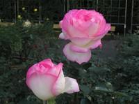 Jindai_rose_3
