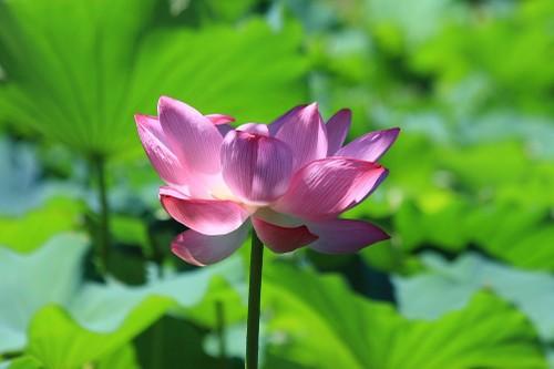 20100805_lotus2