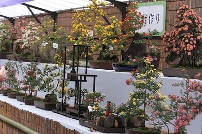 20081102_kiku_bonsai