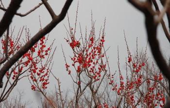 20090205_koubai_mejiro