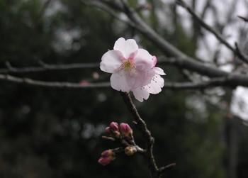 20090228_atamikanzakura_1