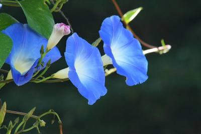 20091018_heavenly_blue79w850
