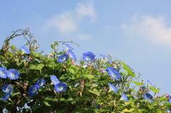 20091018_heavenly_blue82w950