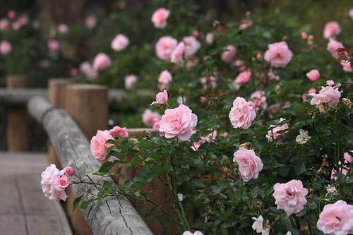 20091110_rose