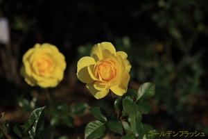 20091128_goldenflush