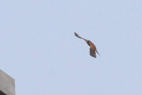 20100504_commonkestrel_w900