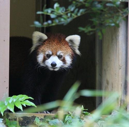 20100902_96_red_panda