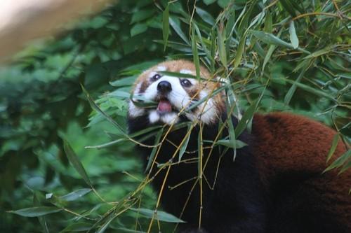 20100902_red_panda