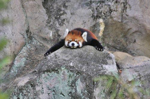 20100902_red_panda_2