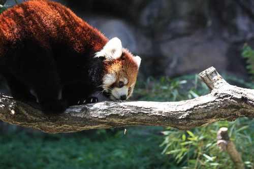 20100902_red_panda_3