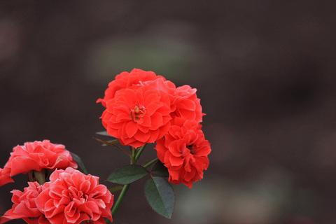 Rose_900_1