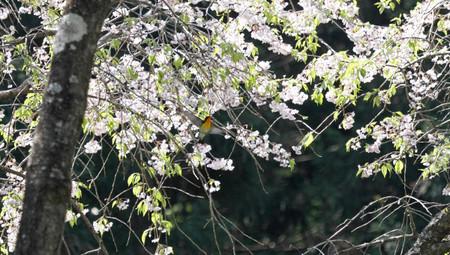 2014_05_15_kibisakura1200s