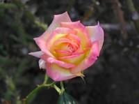 Jindai_rose_1