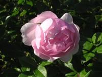 Jindai_rose_2